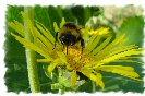 Miniature : Carte postale d'une abeille qui butine.
