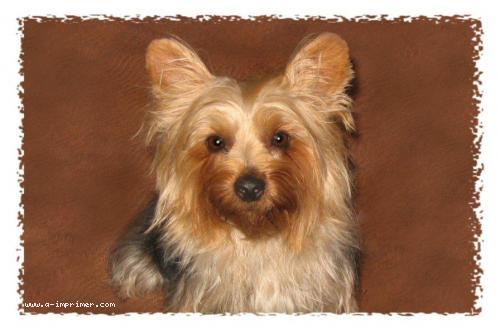 Carte postale d'un chien yorkshire.