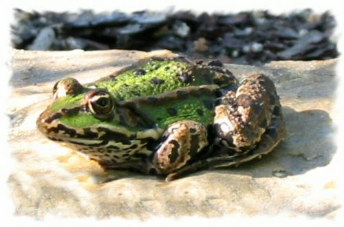 Carte postale d'une grenouille.
