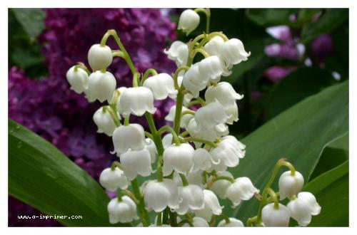 carte muguet imprimer gratuit Carte postale gratuite à imprimer Fleurs   Muguet
