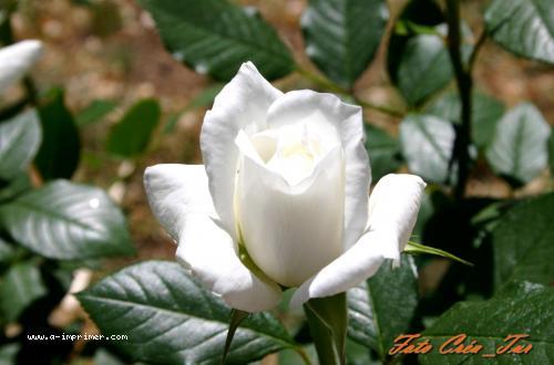 Favori Carte postale gratuite à imprimer Fleurs - Rose blanche - A  PU92